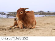 Купить «Корова на пляже», фото № 1683252, снято 8 апреля 2010 г. (c) Екатерина Афанасьева / Фотобанк Лори
