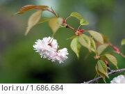 Купить «Цветы японской вишни (Prunus serrulata)», эксклюзивное фото № 1686684, снято 8 мая 2010 г. (c) Svet / Фотобанк Лори