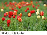 Купить «Разноцветье тюльпанов», эксклюзивное фото № 1686712, снято 8 мая 2010 г. (c) Svet / Фотобанк Лори