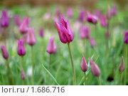 Купить «Сирень в тюльпанах», эксклюзивное фото № 1686716, снято 8 мая 2010 г. (c) Svet / Фотобанк Лори