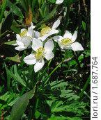 Белый луговой цветок. Стоковое фото, фотограф Александр Евсюков / Фотобанк Лори