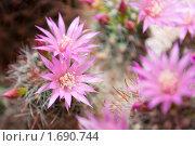 Купить «Цветущий кактус», фото № 1690744, снято 2 мая 2010 г. (c) Владимир Соловьев / Фотобанк Лори