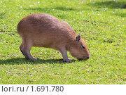 Капибара (Hydrochoerus hydrochaeris) Стоковое фото, фотограф Игорь Долгов / Фотобанк Лори