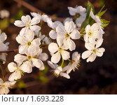 Ветка цветущей вишни. Стоковое фото, фотограф Алешечкина Елена / Фотобанк Лори