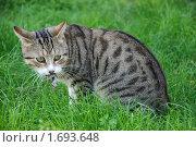 Кот с ящерицей в зубах. Стоковое фото, фотограф Stjarna / Фотобанк Лори