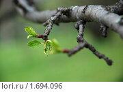 Ветка яблони. Стоковое фото, фотограф Дарья Силич / Фотобанк Лори