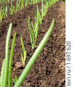 Купить «Молодой, зеленый лук на грядке», фото № 1697620, снято 8 мая 2010 г. (c) Ярославский Максим / Фотобанк Лори