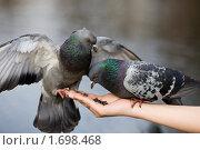 Купить «Голуби на женской руке», фото № 1698468, снято 27 апреля 2010 г. (c) Argument / Фотобанк Лори