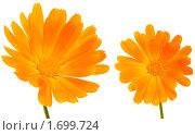 Оранжевые цветы календулы. Стоковое фото, фотограф Мозымов Александр / Фотобанк Лори