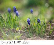 Купить «Цветы Мускари (лат. Muscari)», фото № 1701288, снято 19 мая 2019 г. (c) Liseykina / Фотобанк Лори