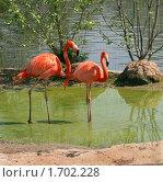 Купить «Пара красных фламинго», фото № 1702228, снято 8 мая 2010 г. (c) Щеголева Ольга / Фотобанк Лори