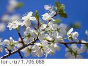 Купить «Цветущая ветка на фоне синего неба», фото № 1706088, снято 9 мая 2010 г. (c) Бондаренко Олеся / Фотобанк Лори