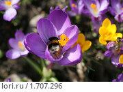 Купить «Первоцветы и шмель с пчелой», фото № 1707296, снято 7 апреля 2010 г. (c) Наталья Волкова / Фотобанк Лори