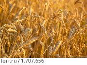 Купить «Колосья пшеницы», фото № 1707656, снято 9 августа 2009 г. (c) chaoss / Фотобанк Лори