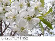 Купить «Цветы вишни», фото № 1711952, снято 11 мая 2010 г. (c) Владимир Соловьев / Фотобанк Лори