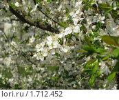 Купить «Цветущая вишня», фото № 1712452, снято 17 мая 2010 г. (c) Алла Виноградова / Фотобанк Лори