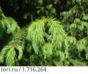 Зеленые иголки. Стоковое фото, фотограф Гузынин Тимофей / Фотобанк Лори