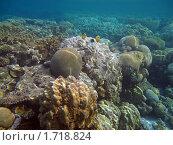 Массивный пористый коралл и рыбы-бабочки. Стоковое фото, фотограф Межерицкая Юлия Сергеевна / Фотобанк Лори