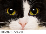 Купить «Портрет кошки крупным планом», фото № 1720248, снято 11 декабря 2019 г. (c) Швайгерт Екатерина / Фотобанк Лори