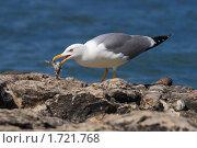 Купить «Чайка ест рыбу», фото № 1721768, снято 7 мая 2010 г. (c) Роман Рожков / Фотобанк Лори