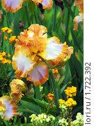 Купить «Сортовой ирис сорта ginger swirl», фото № 1722392, снято 18 мая 2010 г. (c) Анна Мартынова / Фотобанк Лори