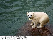 Ленинградский зоопарк. Первое купание белых медвежат. Стоковое фото, фотограф Наталья Ефимова / Фотобанк Лори