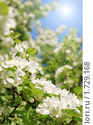 Купить «Цветущий весенний сад», фото № 1729168, снято 21 мая 2010 г. (c) Дмитрий Яковлев / Фотобанк Лори