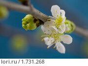 Купить «Цветение яблони», фото № 1731268, снято 14 февраля 2009 г. (c) Наталия Кленова / Фотобанк Лори