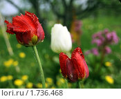Тюльпаны. Стоковое фото, фотограф Анна Кузина / Фотобанк Лори