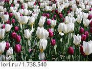 Тюльпаны. Стоковое фото, фотограф Яна Векуа / Фотобанк Лори