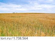 Купить «Поле с созревшим овсом», фото № 1738564, снято 22 августа 2009 г. (c) Алёшина Оксана / Фотобанк Лори