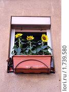 Три подсолнуха растущие на подоконнике. Стоковое фото, фотограф Ирина Королева / Фотобанк Лори
