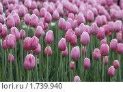Купить «Тюльпаны», фото № 1739940, снято 19 мая 2010 г. (c) Яременко Екатерина / Фотобанк Лори