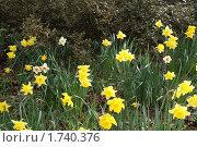 Нарциссы. Стоковое фото, фотограф Лимонад / Фотобанк Лори