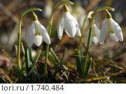 Купить «Подснежники», эксклюзивное фото № 1740484, снято 14 марта 2009 г. (c) Svet / Фотобанк Лори
