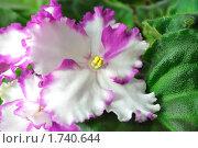Купить «Цветок фиалки», фото № 1740644, снято 3 мая 2010 г. (c) Владимир Соловьев / Фотобанк Лори