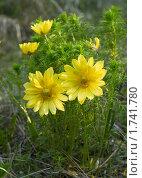 Купить «Адонис весенний», фото № 1741780, снято 12 мая 2010 г. (c) Andrey M / Фотобанк Лори
