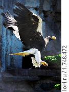 Купить «Орел в полете», фото № 1748472, снято 21 мая 2010 г. (c) Сергей Рыжов / Фотобанк Лори