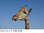 Портрет жирафа. Стоковое фото, фотограф Александр  Новоселов / Фотобанк Лори