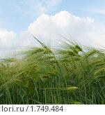 Купить «Зеленые колосья ячменя», фото № 1749484, снято 31 мая 2010 г. (c) Ткачук Оксана / Фотобанк Лори