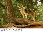 Собака в лесу. Стоковое фото, фотограф Марат Хуснуллин / Фотобанк Лори