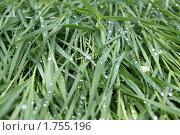 Зелёная трава в каплях воды после дождя. Стоковое фото, фотограф Анастасия Захаренко / Фотобанк Лори