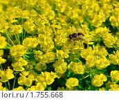 Полосатая муха на цветке молочая. Стоковое фото, фотограф Владимир Соловьев / Фотобанк Лори