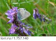 Купить «Бабочка на отдыхе», фото № 1757140, снято 7 июня 2010 г. (c) Владимир Соловьев / Фотобанк Лори