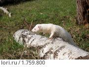 Хорек альбинос на бревне. Стоковое фото, фотограф Галина Гаврилова / Фотобанк Лори