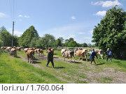 Купить «Пастухи гонят стадо коров на пастбище», фото № 1760064, снято 27 мая 2010 г. (c) Галина  Горбунова / Фотобанк Лори