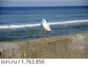 Шагающая чайка. Стоковое фото, фотограф Любовь Сафонова / Фотобанк Лори