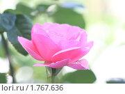 Купить «Нежно-розовая роза, цветок», фото № 1767636, снято 12 июня 2010 г. (c) Лилия / Фотобанк Лори