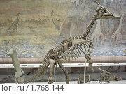 Купить «Скелет динозавра в палеонтологическом музее Москвы», фото № 1768144, снято 5 июня 2010 г. (c) Sergey Toronto / Фотобанк Лори