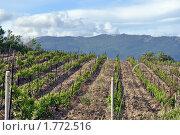 Крымский виноградник на фоне гор. Стоковое фото, фотограф Сергей Кулинченко / Фотобанк Лори